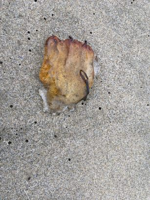 Sea nettle, Chrysaora, fragment | October