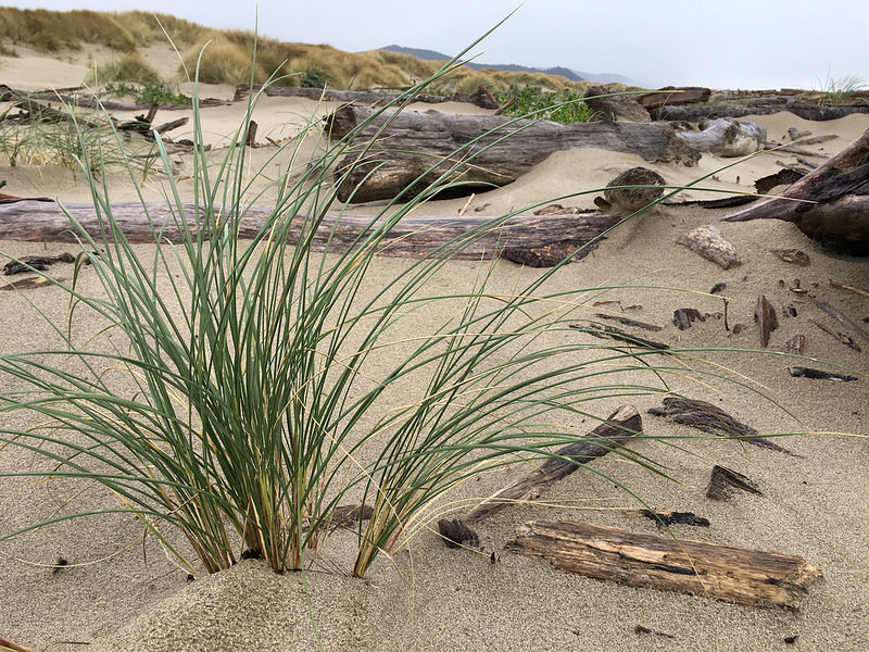 Beachgrass, Ammophila arenaria, pioneering down onto the backshore among the wrack; dunes covered with a beachgrass monoculture in the background