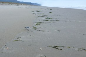 Lost red phalarope, working the drift line