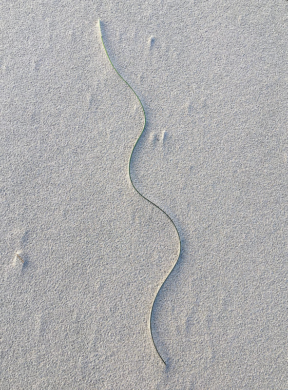 A lone surf grass blade in sand