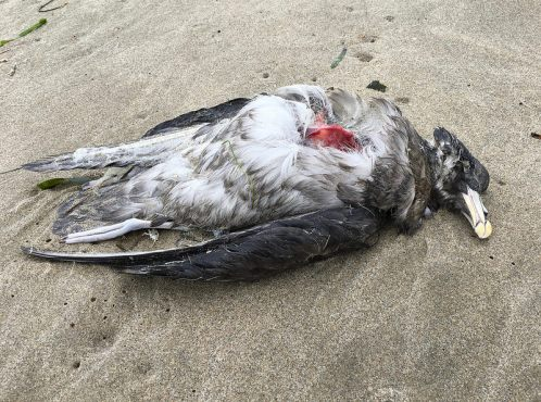 Dead northern fulmar, some breast meat scavenged