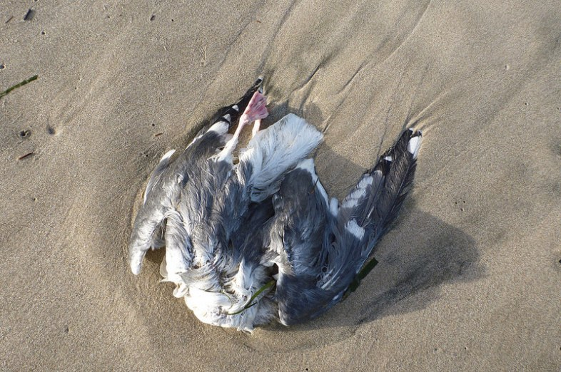 Dead western gull; dark mantle, black wing tips, pink legs