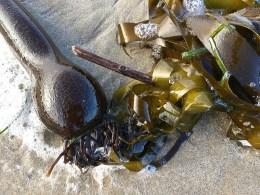 Drift bull kelp in the drift line