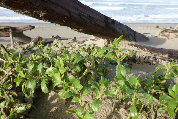 Sea rocket, Cakile edentula, perched on the backshore shelf | November