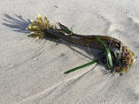 Drift sea palm washed up on the sand