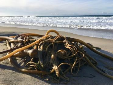 Drift bull kelp | December