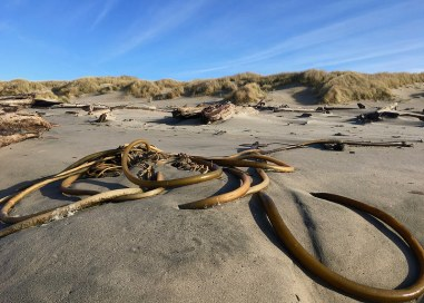 High tides and swells have pushed this drift bull kelp up onto the backshore shelf