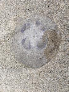Moon jelly, Aurelia   September