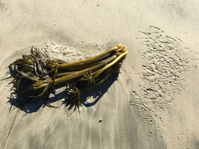 A gull's interest in drift Postelsia is solely on the holdfast | September