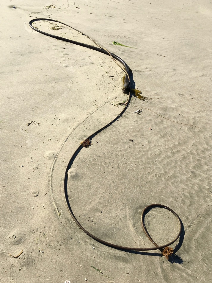 This drift bull kelp almost forms a treble clef | September