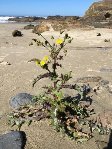 A pioneering dandelion   September