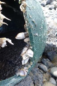 Lepas anatifera on a cracked buoy