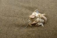Pacific mole crab, Emerita analoga, exoskeleton