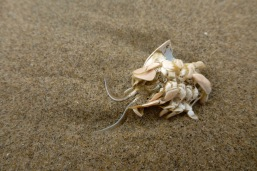 Pacific mole crab, Emerita analoga, exoskeleton