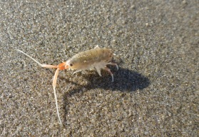 California beach hopper, Megalorchestia californiana | May