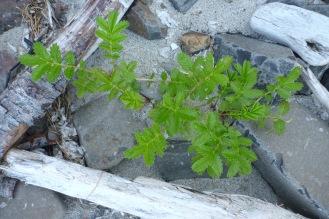 Beach strawberry, Fragaria chiloensis, a pioneer