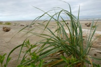 A pioneering dunegrass, Elymus | July