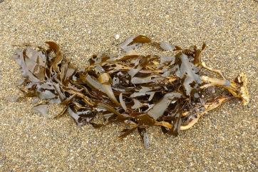 Strap kelp, Lessoniopsis littoralis