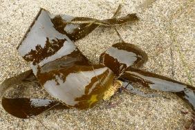 Sea cabbage, Saccharina sessilis