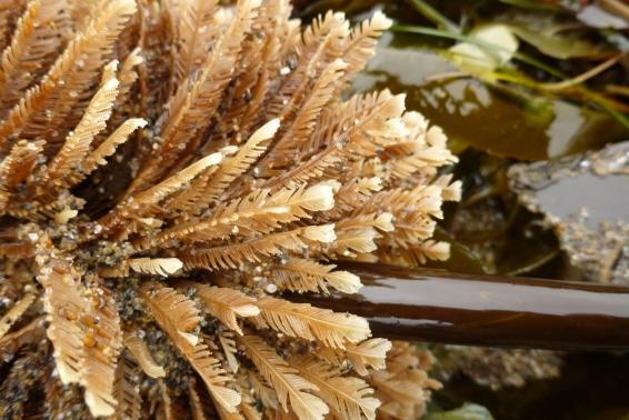 Hydroid on Laminaria setchellii stipe
