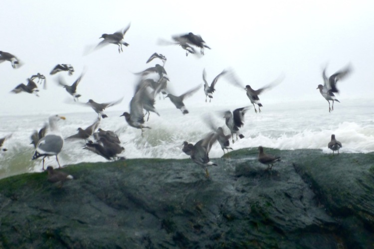 Surfbirds depart before a breaking wave, northern Oregon coast