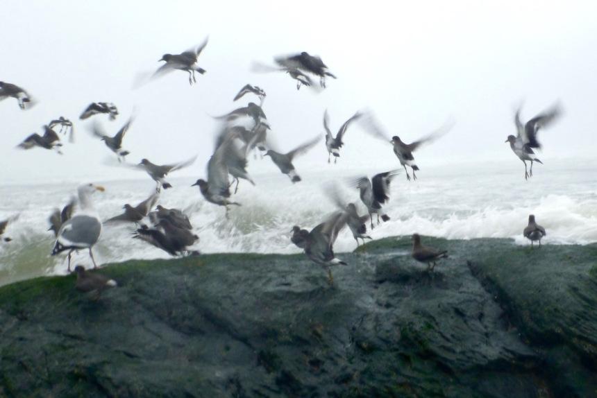 Surfbirds depart before a breaking wave, northern Oregon coast