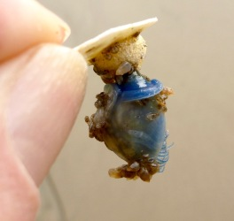 In: Buoy barnacle... https://theoutershores.com/2016/03/30/dosima-fascicularis-a-pelagic-barnacle-builds-its-own-float/