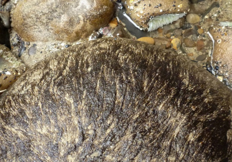 Look for Bangia on smooth round high intertidal rocks
