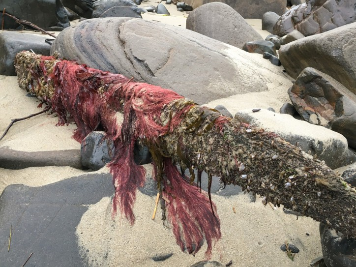 In the wrack line, an eye-catching red adorns a drift timber