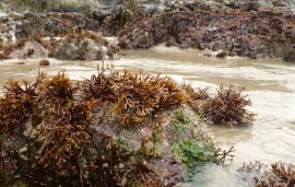 Ahnfeltiopsis isn't the only algae on this shore; it's a macroalgal extravaganza