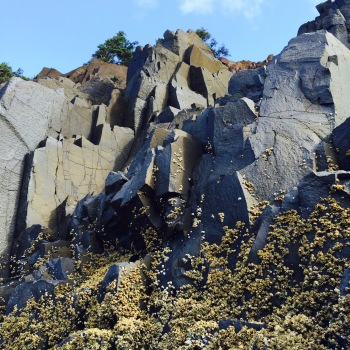 Acorn barnacles, Balanus glandula, inching into the highest reaches of the rocky intertidal