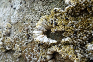 Fast growing acorn barnacles, Balanus glandula, hummock creating open space for new arrivals