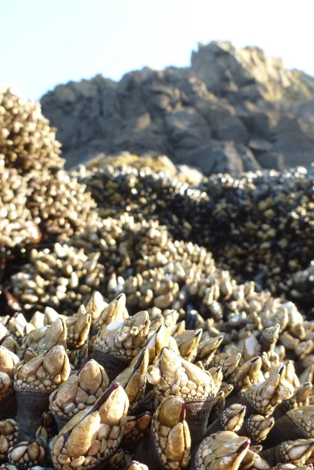 A view from the Pollicipes polymerus beds to the highest intertidal and beyond