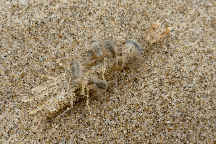 Beach hoppers, Megalorchestia, feasting on the carcass of a smooth bay shrimp, Lissocrangon stylirostris