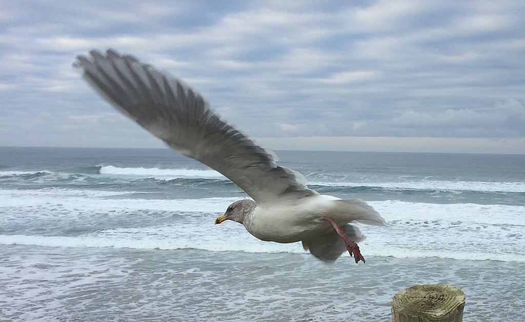 Olympic Gull leaping off a fence post, over Pacific Ocean