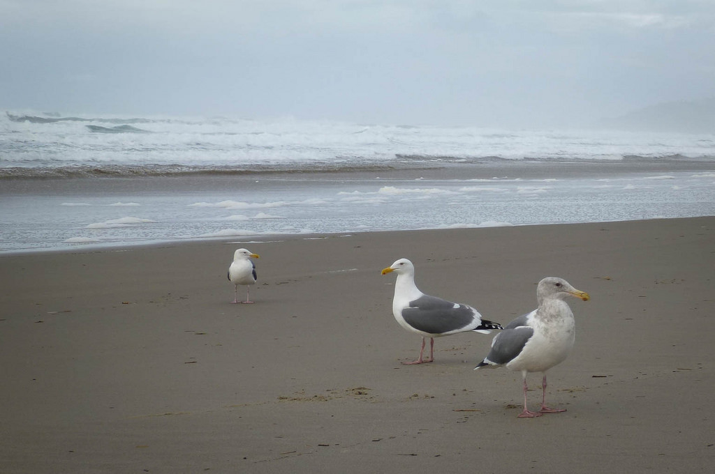 Three adult western gulls on the beach