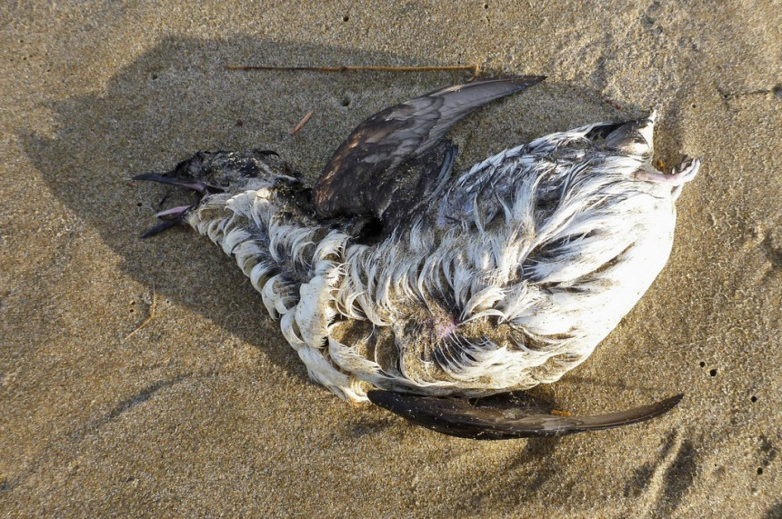 Dead marbled murrelet on the beach
