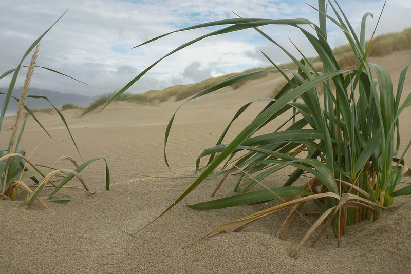A Perennial Grass, Living In The Space Between, Leymus (Elymus) Mollis, Is  The Native Dunegrass Of Coastal Pacific Northwest Foredunes.