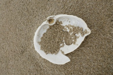 Bleached shell on wet sand