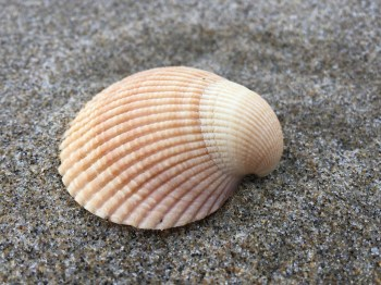 drifted shell on wet sand