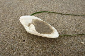 Bleached white shell on wet beach sand