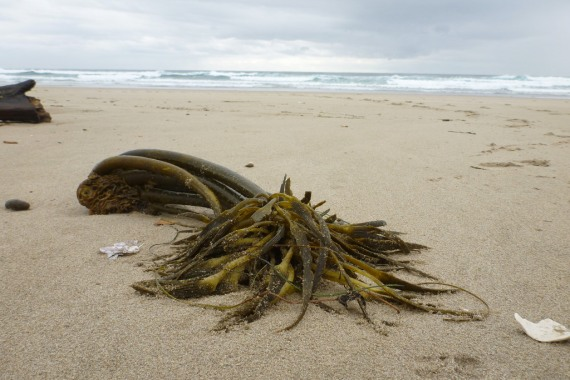 Drift sea palm on a sandy beach