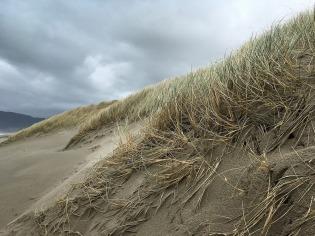 Beach grass, Ammophila on the foredune