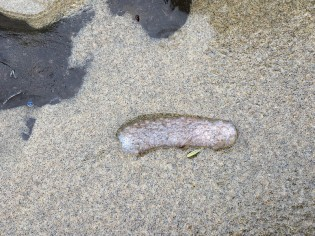 Pyrosome, worse for wear