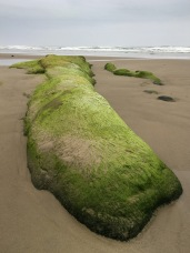 Long exposed rock covered with green algae
