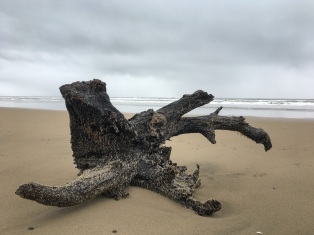 large drifted root wad on the beach