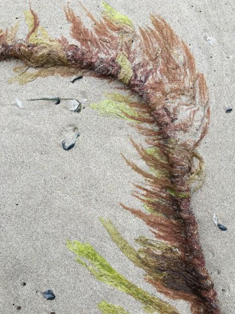 Delicate epiphytes on a bull kelp stipe