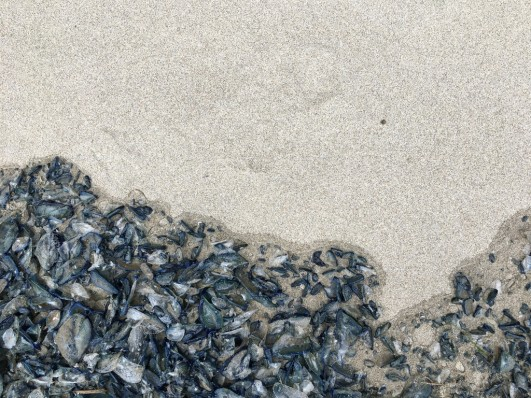 Drift line loaded with Velella