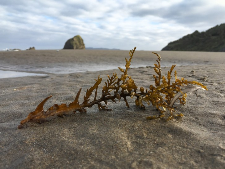 Piece of drift bladder chain on the sand, sea stack in the background