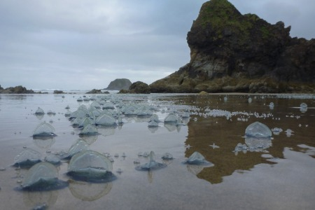 Lot of Velella in the drift line; Lion Rock in the background